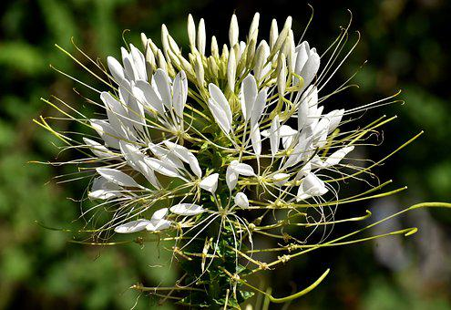 Spider Flower, Cleome Hassleriana, Flower, Plant