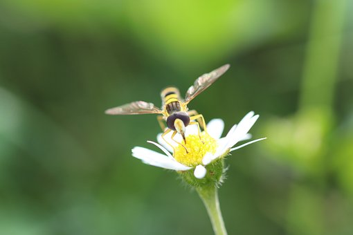 Hover Fly, Flower, Insect, Close Up, Macro, Wing