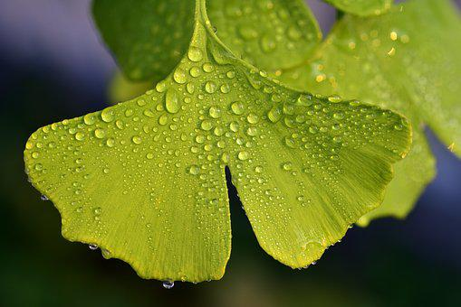Ginko, Leaf, Nature, Plant, Green, Ginko Tree, Close Up