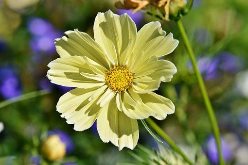 Cosmos, Cosmee, Cosmos Bipinnatus, Flower, Blossom
