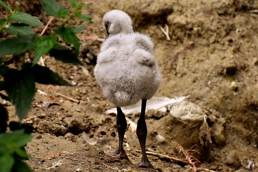 Flamingo, Young Bird, Chicks, Cute, Feather, Plumage