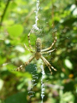 Spider, Web, Detail, Araneus Diadematus