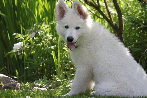 Dog, Puppy, Swiss White Shepherd Dog, Pet, Cute, Sit