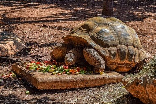 Turtle, Giant, Reptile, Tortoise, Animal, Eating, Zoo