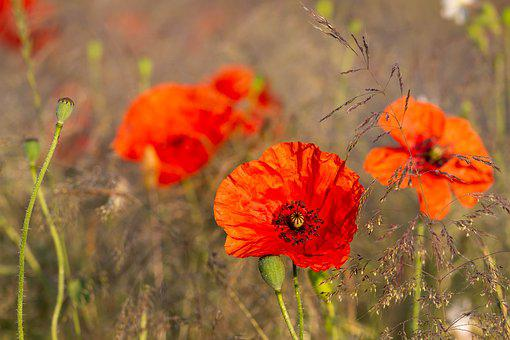 Poppies, Flowers, Poppy, Flower, Figure, Red, Summer