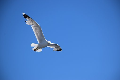 Seagull, Blue Sky, Fly, Flight, Space, Blue