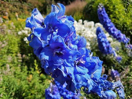 Flower Bloom, Flora, Garden, Hollyhock