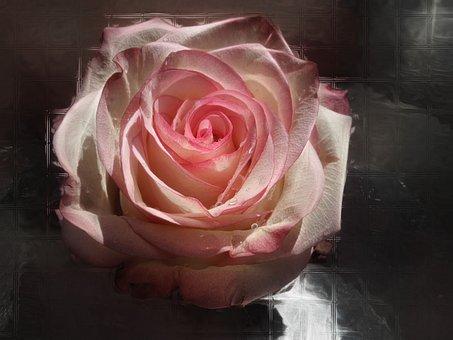 Rose, Blossom, Bloom, Flower, Rose Bloom, Beauty, Pink