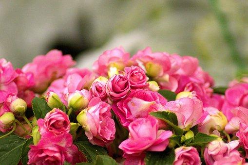 Farm Market Peonies, Flower, Peony, Blossom, Bloom
