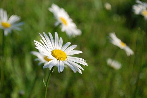 Flower, Nature, Leucanthemum Vulgare, Oxeye Daisy