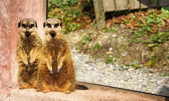 Meerkat, Zoo, Animal, Cute, Mammal, Animal World, Fur