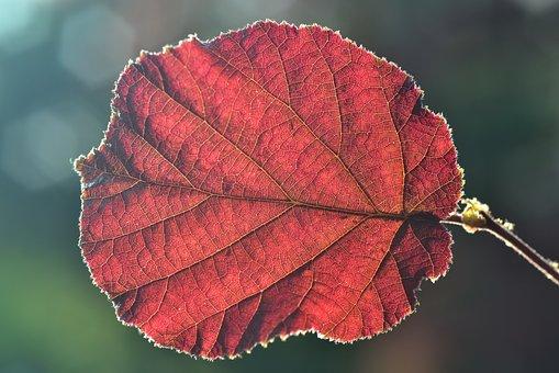 Leaf, Back Light, Hazelnut Leaf, Hazelnut, Nut, About