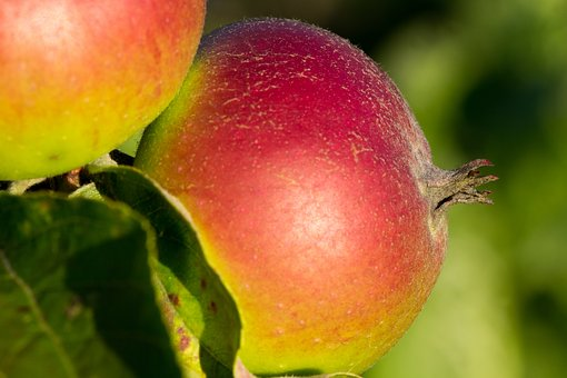 Apple, Healthy, Close Up, Kernobstgewaechs, Nature