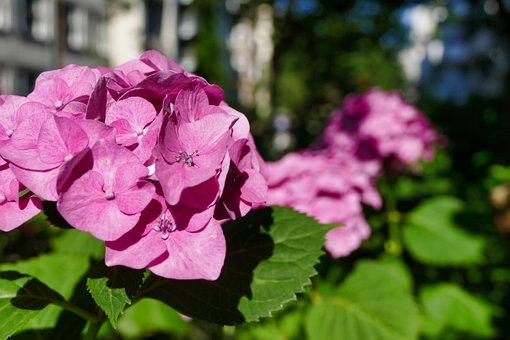 Hydrangea, Pink, Blossom, Bloom, Summer, Flowers, Plant