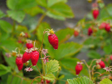 Wild Strawberry, Forest, Berry, Red, Glade, In Grass