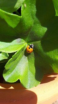 Ladybug, Insect, Garden, Leaf, Nature