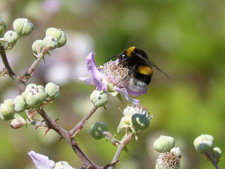 Drone, Bumblebee, Libar, Flower Of Blackberry, Bombus