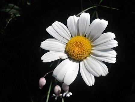 Flower, Margarite, Nature