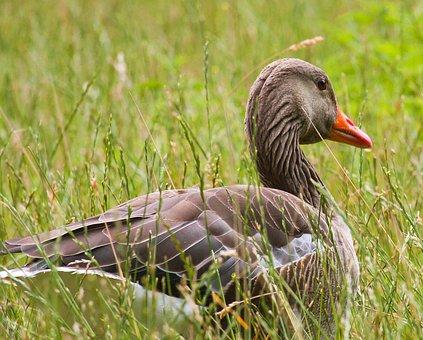 Wild Goose, Animal, Water Bird, Bird, Nature
