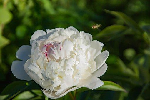Nature, Flower, Peony White, Flora, Summer