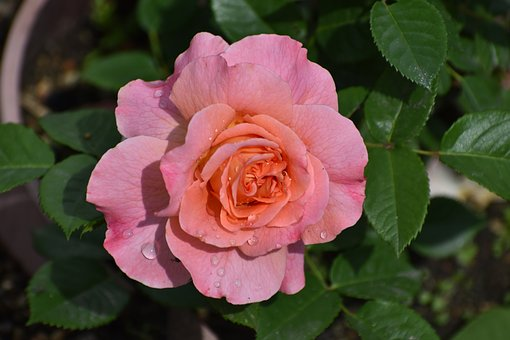 Rose, Flower, Drops, Rain, Bloom, Nature, Garden, Love