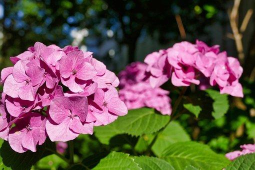 Hydrangea, Pink, Blossom, Bloom, Summer, Plant, Nature