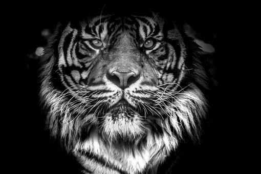 Animal, Cat, Fur, Male, Mammal, Orange, Panthera, Rare