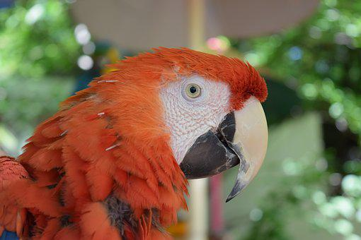 Parrot, Rust, Orange, Red, Bird, Animal, Outdoor, Park