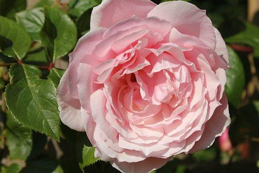 Rose, Flower, Petal, Pink, Fragrant, Climber, Floral