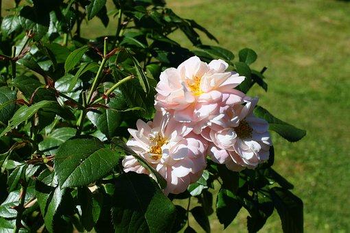 Roses, Pink, Flowers, Rose Flower, Noble Roses