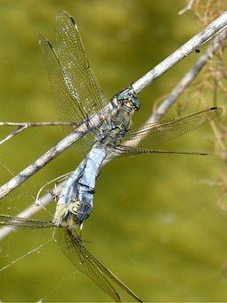 Dragonfly, Libellula Fulva, Blue Dragonfly, Pond