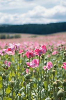 Poppy, Field, Summer, Green, Beautiful, Blossom, Bloom