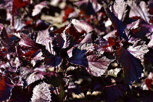 Perilla Frutescens, Lamiaceae, Plant, Leaves, Red
