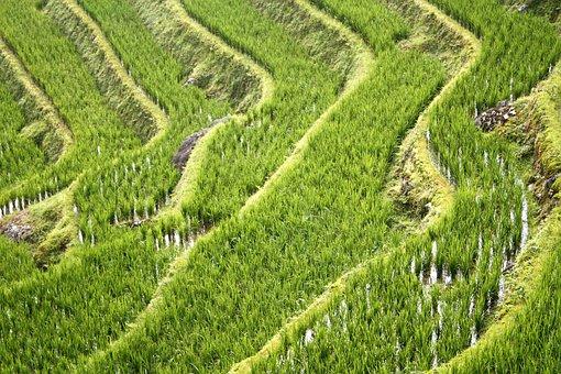 China, Rice Fields, Guillin, Dragon Rice Terrace