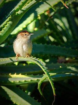 Bird, Robin, Warbler, Flycatcher, Nature, Wildlife, Red