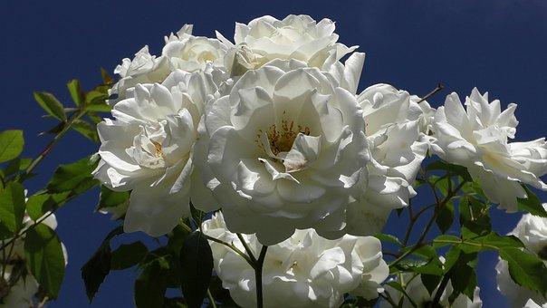 Rose Blooms, Rose Bloom, Flower, White, Wedding
