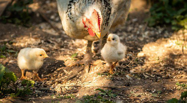 Animals, Chicks, Mother Hen, Nature, Poultry, Run