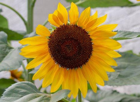 Sunflower, Plants, Trees, Seed, Summer, Bloom