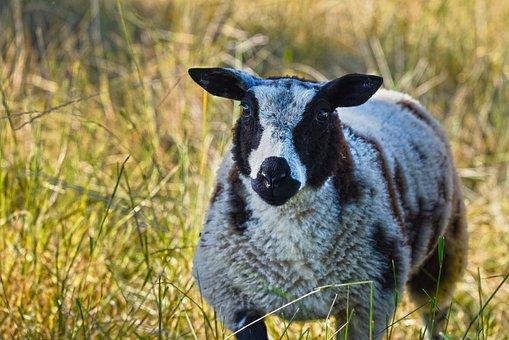 Sheep, Animal, Mammal, Ruminant, Even-toed, Lamb, Wool