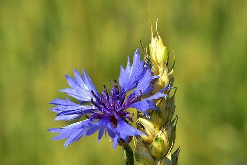 Cornflower, Wheat, Summer, Nature, Cereals, Blossom
