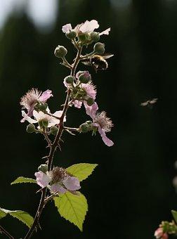 Nature, Blossom, Summer, Flower, Flora, Brambles