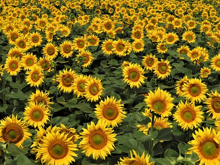 Sunflower Field, Agriculture, Nature, Sunny Day