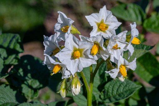 Potato Blossom, Blossom, Bloom, White, Umbel, Plant