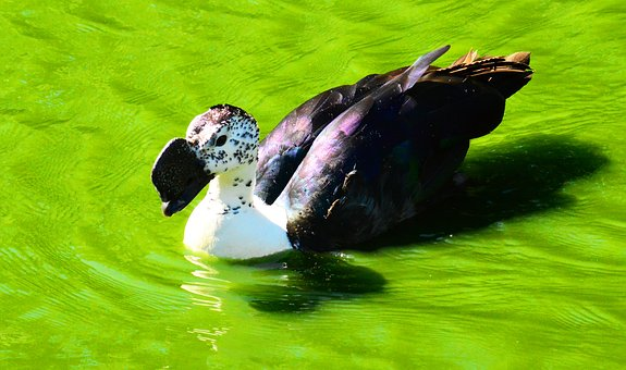 African Comb Duck, Knob-billed Duck, Male, Water Bird