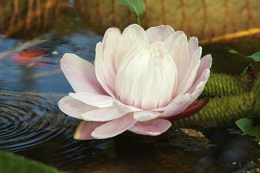 Water Lily, Plant, Lotus, Aquatic Plant, Pond, Blossom
