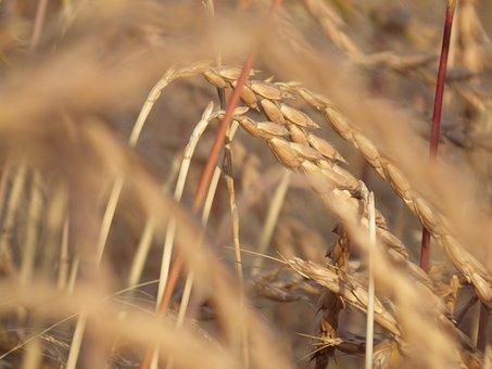 Cereals, Spelt, Wheat