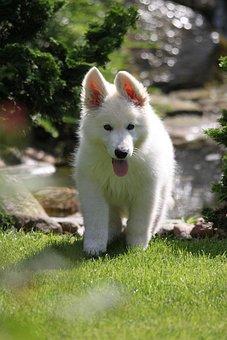 Dog, Puppy, White Swiss Shepherd Dog, Pet, Cute, Young