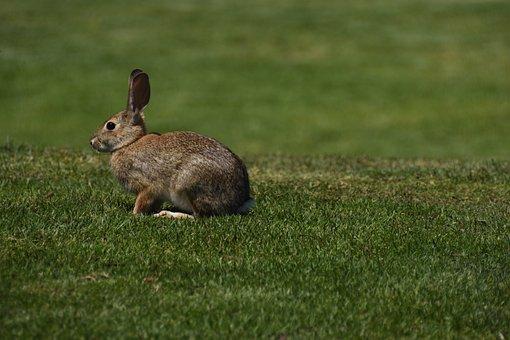 Hare, Nature, Animal, Rabbit, Wild Rabbit, Grass, Cute