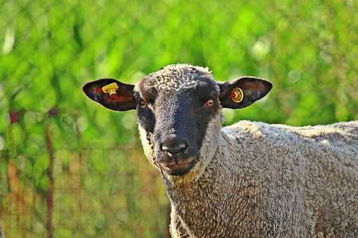 Sheep, Merino, Animal, Livestock, Agriculture, Cattle