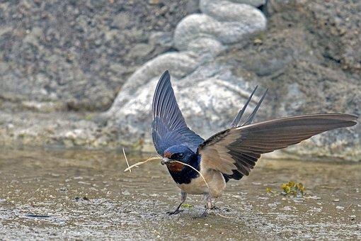 Barn Swallow, Schwalbe, Songbird, Bird